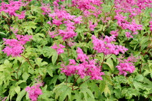 Purple Meadowsweet Filipendula...