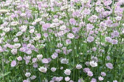 Photo Group of Great masterwort Astrantia major flowering in a garden
