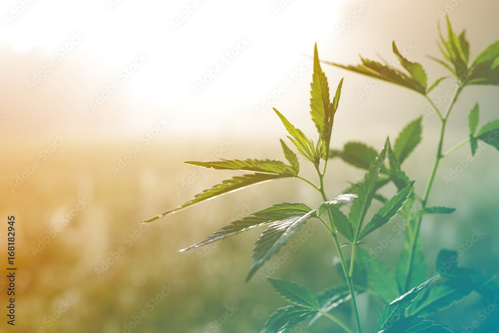 Fototapeta Hemp plant on a meadow in morning light, in a fog haze. Cannabis leaf
