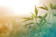 Leinwandbild Motiv Hemp plant on a meadow in morning light, in a fog haze. Cannabis leaf