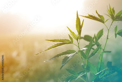 Poster de jardin Vegetal Hemp plant on a meadow in morning light, in a fog haze. Cannabis leaf