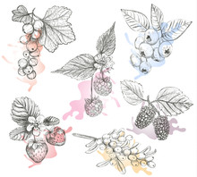 Sketch Berries Set Vector Illustration. Hand Drawing A Berries Collection. Berries: Raspberry, Strawberry, Currant, Mulberry, Sea Buckthorn