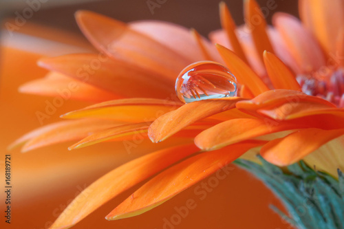 Fotobehang Gerbera Wassertropfen Blume