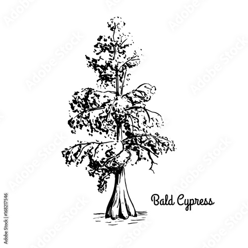 Fotografiet  Vector sketch illustration of Bald Cypress