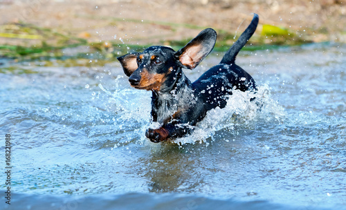 Dachshund swims in the lake, jumps over the water with a spray Wallpaper Mural