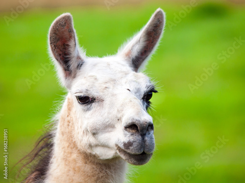Poster Lama Llama portrait. South american mammal. Close-up view with green grass background.