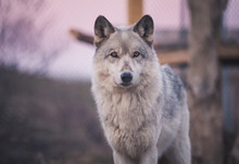 Wolf At Dusk