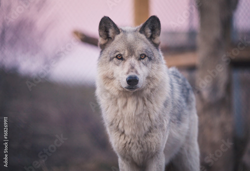 Wolf At Dusk