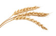canvas print picture - Three wheat spikelets