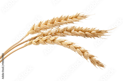Poster Graine, aromate Three wheat spikelets
