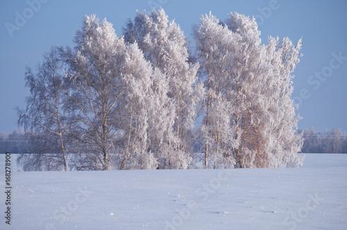 Poster Fleur Birch trees under hoarfrost in snow field in winter season