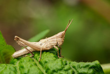 Image Of Brown Grasshopper On ...