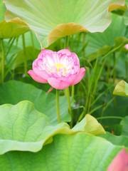 Panel Szklany Ogrody 蓮の花
