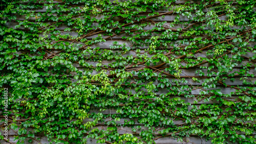 green ivy on wood backgroundgreen ivy on wood background
