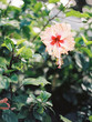 canvas print picture - flower of hibiscus