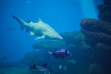 Fototapeta  - Shark on the background of coral reef and small fish.