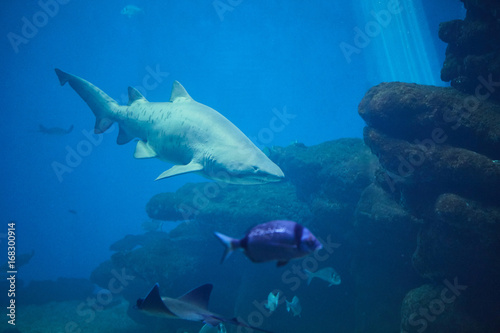 shark-on-the-background-of-coral-reef-and-small-fish