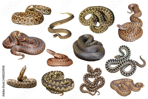 collection of isolated european venomous snakes