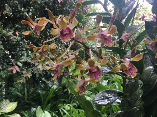 Dendrobium Barack and Michelle Obama Orchid flower Fototapet