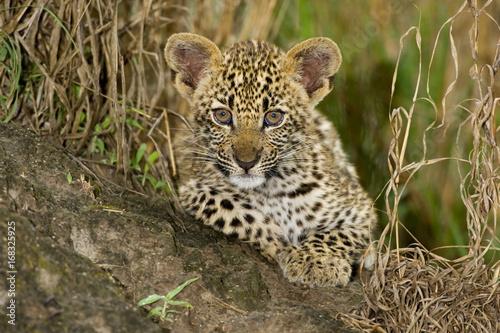 Tuinposter Luipaard Leopard Cub