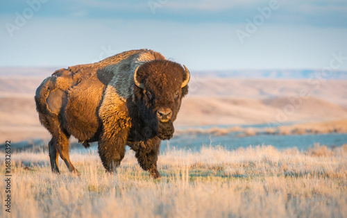 Canvas Prints Bison Canadian bison in the prairies