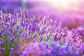 Naklejka Lavender flower field at sunset.