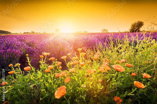 vender flower field landscape at sunset. Summer