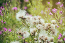 Creeping Thistle Wild Flower W...