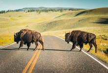 Bison Buffalo Crossing Road