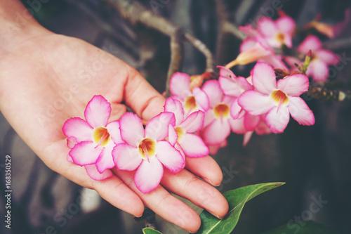 Zdjęcie XXL Ręka trzymać Azalia kwiatów, Impala Lily lub Desert Rose lub makiety Azalia, piękny różowy kwiat w ogrodzie.