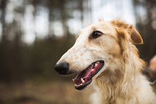 Portrait Of A Russian Greyhound