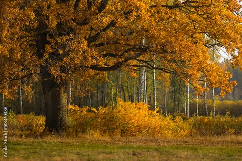 Dąb w jesiennych barwach © Grzegorz