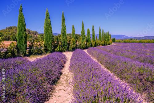 lawendowi-pola-i-cyprysowi-drzewa-w-provence-francja