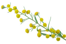 Absinthium (Artemisia Absinthi...