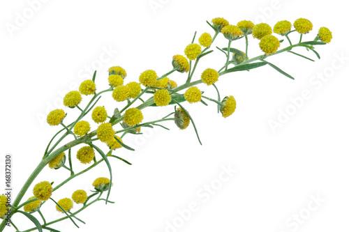 Absinthium (Artemisia absinthium) Wallpaper Mural
