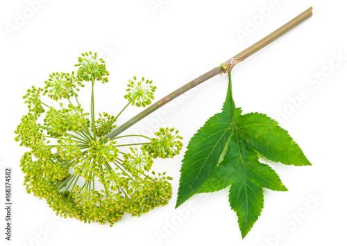 Angelica plant Fototapet