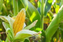 Yellow Corn Cob In Green Leave...