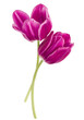 Two lilac tulip flowers isolated on white background cutout