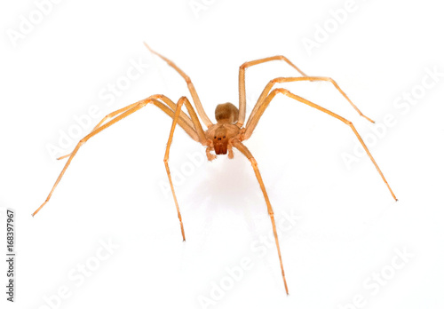 Brown recluse spider Fototapet