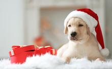 Cute Dog In Santa Claus Hat Lying On Fluffy Rug Near Christmas Gift