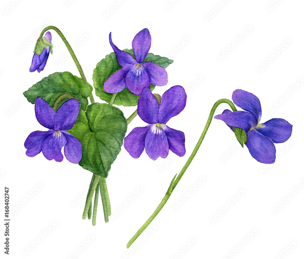 Fototapety, obrazy: Watercolor illustration of violet flowers with leaves and buds. Bouquet of field violets.