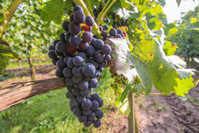 A Bunch Of Grapes Growing In T...