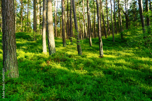 Fotografia, Obraz  Summer pinewood with bilberry plants growing in forest understory