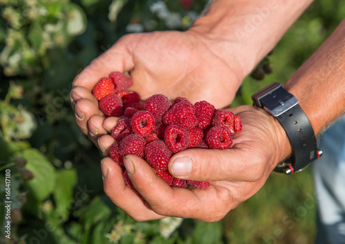 Stampe  Raspberries in the hands of a farmer