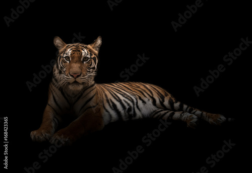 female bengal tiger in the dark