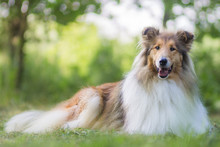 Cute Gold Rough Collie With Lo...