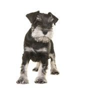 Standing Black And Grey Schnauzer Puppy Looking Away Isolated On A White Background