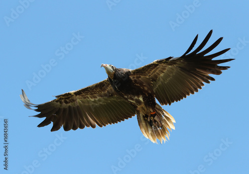 In de dag Eagle Close up of a hooded vulture in flight