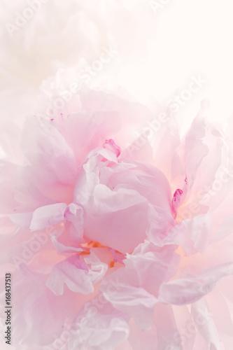Tender pink peony