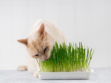 Cat Is Eating Fresh Green Grass. Cat Grass, Pet Grass. Natural Herbal Treatment, White, Red Pet Cat Eating Fresh Grass, Green Oats, Emotionally, Copy Space, The Concept Of The Health Of Pets